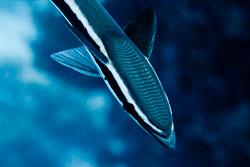 BD-100921-St-Johns-1959-Echeneis-naucrates.-Linnaeus.-1758-[Live-sharksucker.-Huvudsugare].jpg